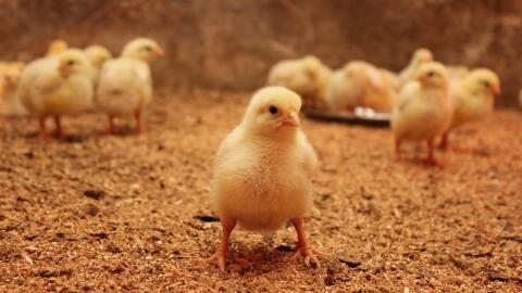 motorsport kycklingar naken