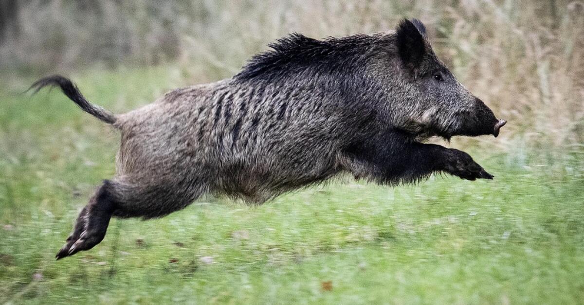 Vill göra det lättare för jägare att sälja vildsvinskött
